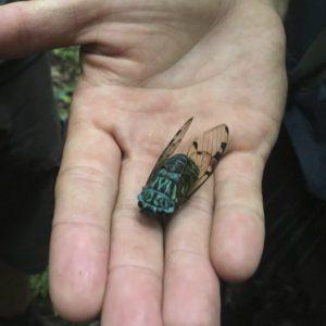 Cicàdid al Parc Nacional Corcovado