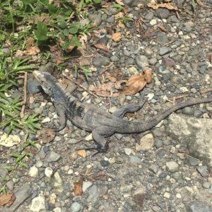 Iguana al Parc Nacional Manuel Antonio, Costa Rica