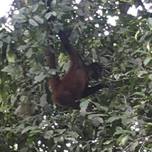 Mico aluata negre al Parc Nacional Corcovado