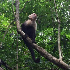 Mico cara blanca al Parc Nacional Manuel Antonio, Costa Rica