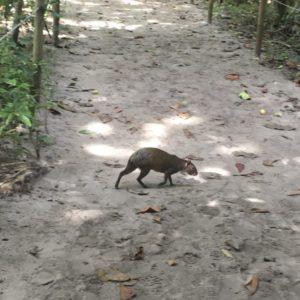 Nyeque (guatusa) al Parc Nacional Manuel Antonio, Costa Rica